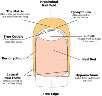 The Nail Anatomy And Physiology